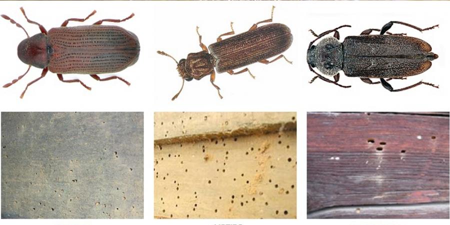 Tipos de carcoma lajara tratamientos caceres for Carcoma de la madera